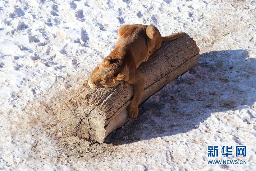 来看新疆天山野生动物园的动物如何过冬